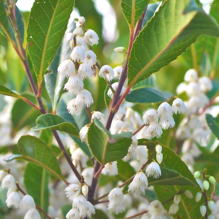 Blueberry Ash tree. Elaeocarpus reticulatus  Nov 14 Crackneck walking track. Central Coast NSW.
