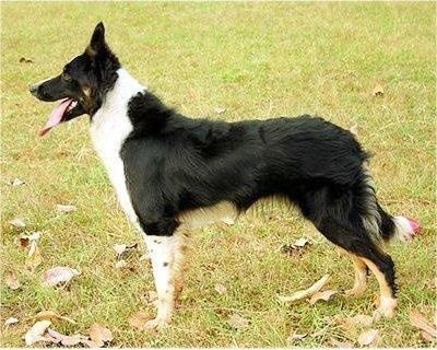 Border Collie: Border Collies, Collie Recipes, Collie Animals, Animals Pets, Collie Border, Border Collie Want, Collie Dogs, Collie Pets, Bordercollienouba1 Jpg 400 320