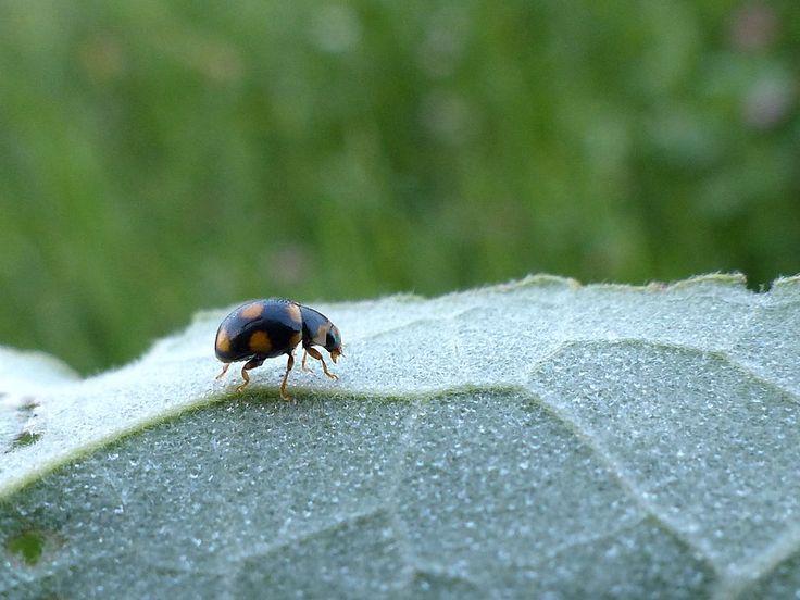 http://faaxaal.forumactif.com/t4865-coleoptere-du-quebec-brachiacantha-ursina-coccinelle-noire-a-taches-jaune-orange-a-orange-vermillon-orange-spotted-lady-beetle