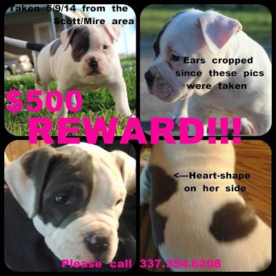 lizardmarsh: Scott LA: REWARD for Stolen Pit Bull puppy
