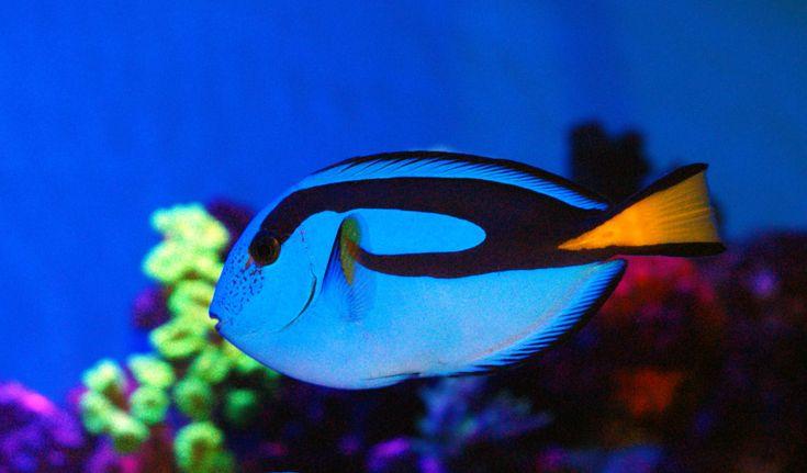 Regal Tang   Fish-Tang...