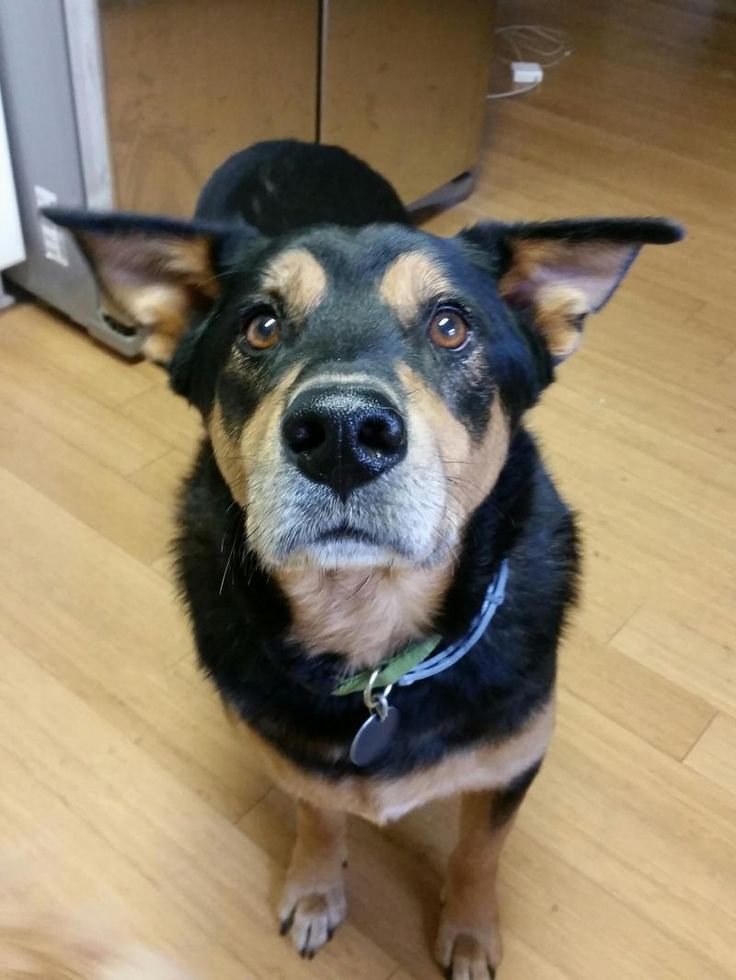 Meet Macon, a Petfinder adoptable German Shepherd Dog Dog | Thompson, CT | I would like to introduce you to Macon. Sweet Macon is a handsome 7-year-old pup is recovering...