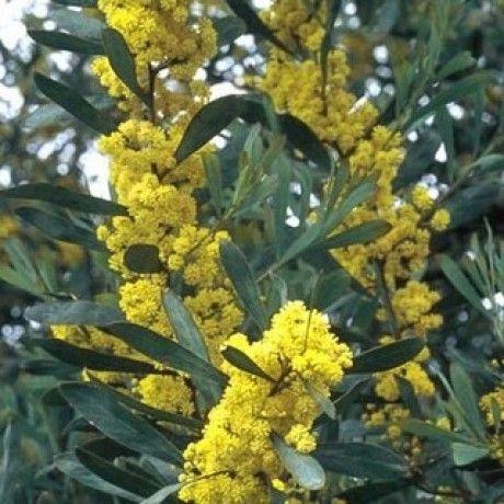 ACACIA Retinoides (Mimosa des 4 saisons) [de Grèf %Ramette