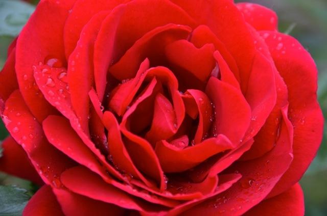 Le rose del mio giardino