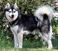 """El Alaskan Klee Kai es una raza canina de tipo spitz proveniente de Estados Unidos de América. """"Klee Kai"""" deriva del idioma Athabaskan, cuyo significado es """"perro pequeño"""". La raza fue desarrollada para crear un perro en miniatura del Alaska Husky (una mezcla de raza de perro utilizado para las carrera de trineo), resultando en un enérgico perro inteligente, con un aspecto que refleja su herencia del norte."""