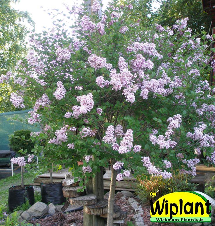 Syringa meyeri 'Palibin', Dvärgstamsyren. Lila doftande blommor i juni. Höjd: 1,5 m.