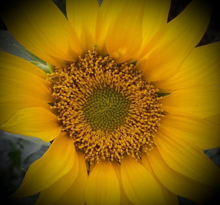 My sun flower
