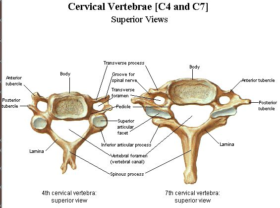 The cervical vertebrae is the first set of vertebral bones of the spine, located inferior to the skull. See other function of cervical vertebrae in our body ~ http://www.learnbones.com/spine-bones-anatomy/