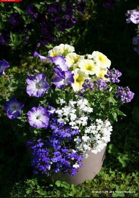 Цветы в горшках и подвесных корзинах - 3 | Страница 72 | Форум - FORUMHOUSE