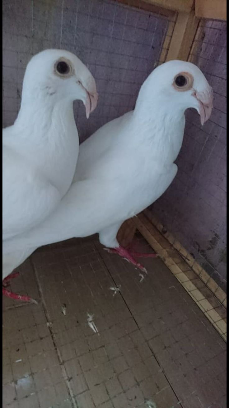 941 best pigeons images on pinterest pigeon life and birds