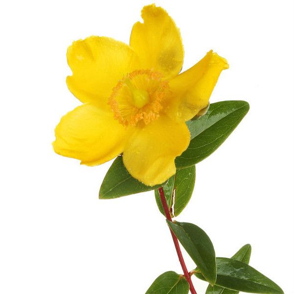 Hypericum 30c - from their fb - This remedy is the 'arnica of the nerves'. It is fabulous for nerve rich areas such as the fingers and toes, falling on the coccyx and lacerations to the mouth. It is wonderful for puncture wounds and this includes mosquito bites. It soothes the itch and prevents infection.