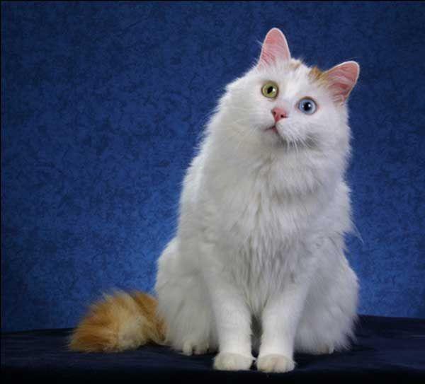 the 25 best rare cat breeds ideas on pinterest kittens