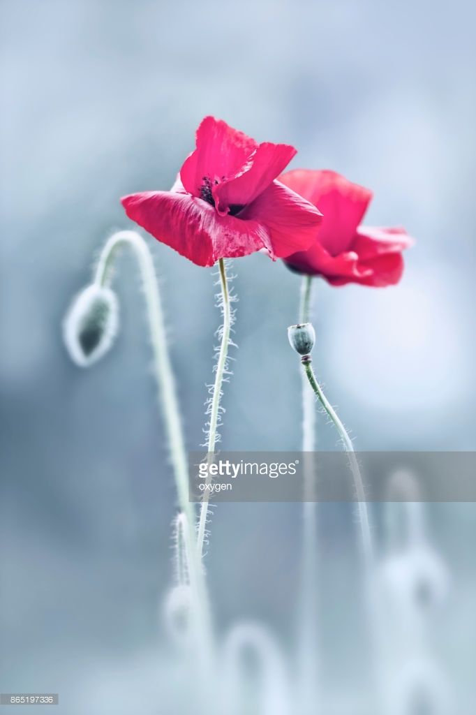 Stock Photo : Two Red Poppies Flowers on Light Blue or Gray background closeup by Oksana Ariskina. #OksanaAriskina #Flowers #Poppy #Floral #Photography #Nature #gettyimages #gettyimagescreative  #gettyimagesnew #getty #gettycreative