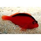 Flamehawk Fish