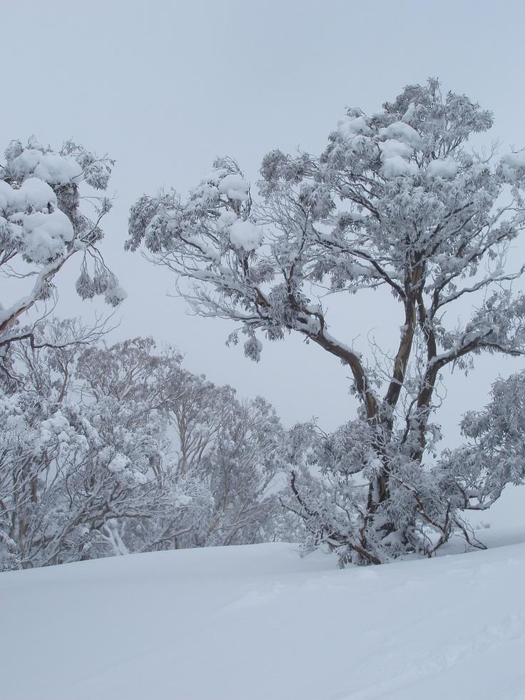 snow - Australian gums