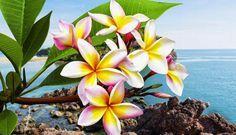 As 9 flores mais cheirosas do mundo | Maliária  Plumeria é um arbusto tropical que dá flor entre julho e outubro. Nativo da América do Sul, se adapta muito bem ao Brasil. As flores com centro amarelo tem um perfume que lembra o cheiro de frangipane, um doce feito de amêndoa e creme pasteleiro. Não à toa, ela também é conhecida, principalmente no idioma inglês, pelo nome de frangipani. Ela pode florescer nas cores branco, rosa, amarelo, branco ou vermelha. Lindas e cheirosas.