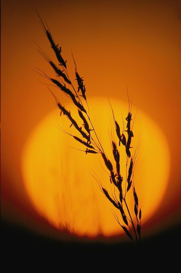 Indian Grass Sorghastrum Nutans by Annie Griffiths