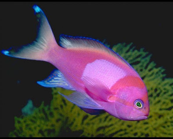 17 best images about fish on pinterest perfect body for Pink saltwater fish