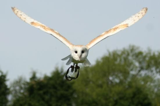 """Turbary Woods Owl and Bird of Prey Sanctuary: Here comes """"Lilo"""" Male Barn owl"""