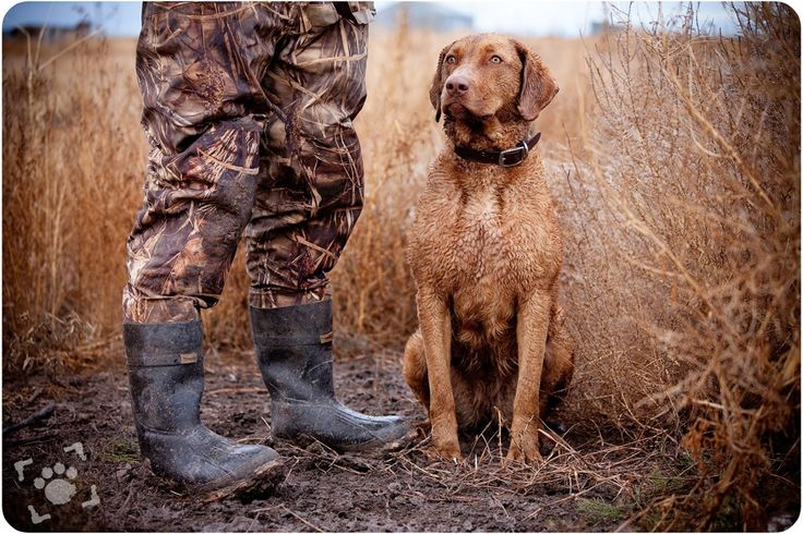 Alice :: Chesapeake Bay Retriever; Duck Hunting Photoshoot by Nizhoni Pet Photography