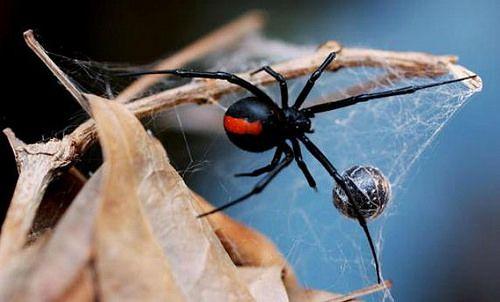 Australia también encontramos a la araña de espalda roja (Latrodectus hasseltii). Su veneno se compone de neurotoxinas capaces de causar graves daños al cuerpo humano,