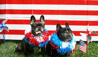 4th of July Frenchies  French Bulldog Rescue Network