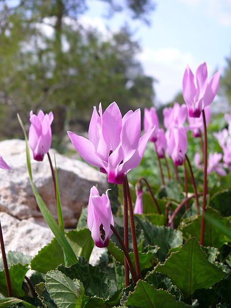 """In September 2007 the Cyclamen (רקפת, more exactly Cyclamen persicum) was elected as the national flower of the State of Israel and as its official representative in the botanical exhibition """"We Are One World"""" held in Beijing. The Cyclamen won over by a small margin over the Anemone coronaria (6509 compared with 6053 votes) in a poll conducted among visitors of the popular Israeli website Ynet"""
