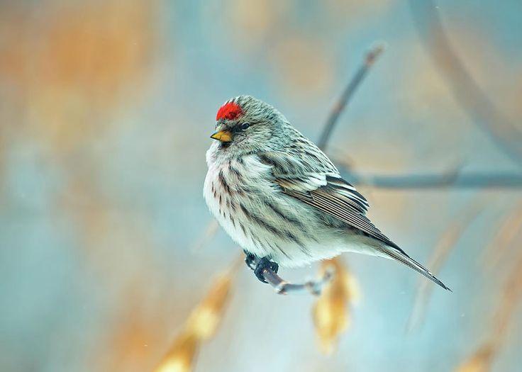 Bird Common Redpoll Photograph by Oksana Ariskina   #OksanaAriskinaFineArtPhotography #ArtForHome #FineArtPrints #InteriorDesign #Bird #Redpoll #Nature
