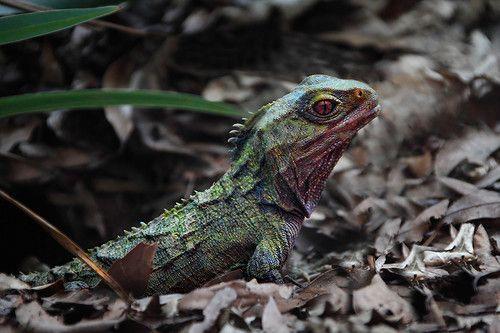 Туатара - живой динозавр