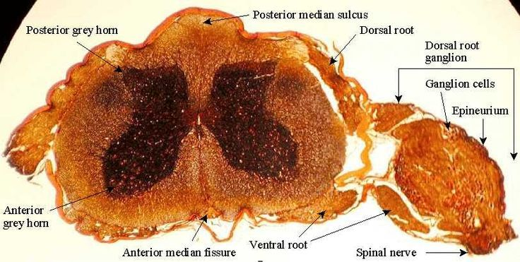 labeled spinal cord with dorsal root ganglion | histology of ...
