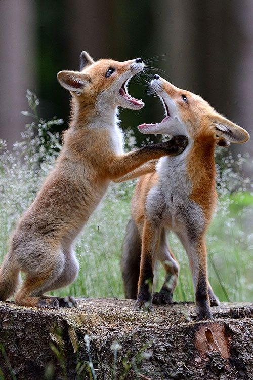 Fox ~ By Jiří Novotný