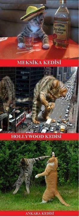 Çok yaşa Ankara kedisi