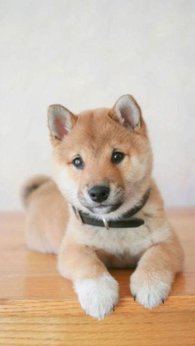 Dog Face Masdage Video Shiba