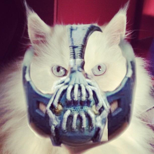 Cat with Bane mask | Animals | Pinterest | Masking, Walter ...