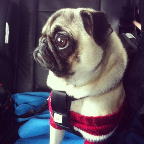 Mr. Pug isn't so sure about this car ride