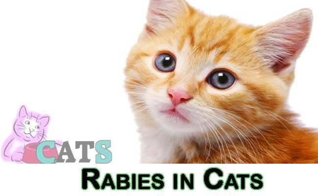 Rabies In Cats How To Tell If A Cat Has Rabies Catsfud Cats Animals Wild Mammals