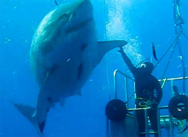 Scuba Diver High Fives a Massive Great White Shark Off Guadalupe Island, Mexico