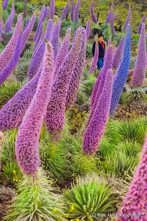Tajinastes en flor. La Palma. Islas Canarias