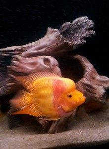 Bonsai flowerhorn babys cichlids tropical fish at Aquarist ...