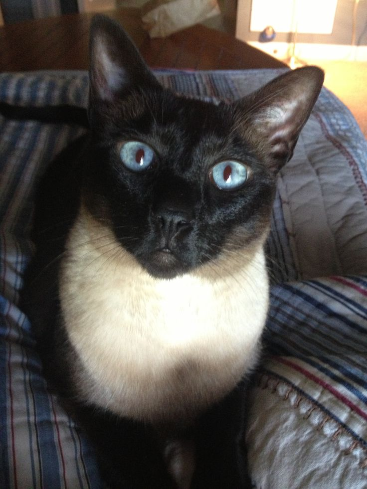 93 best images about siamese cats on pinterest cats famous cartoons and anthony perkins. Black Bedroom Furniture Sets. Home Design Ideas
