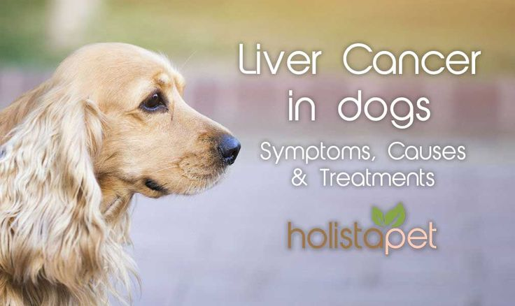 Liver cancer is something no dog should go through. Help prevent Liver cancer in dogs by being aware of the symptoms and treating early. Learn how in this new article