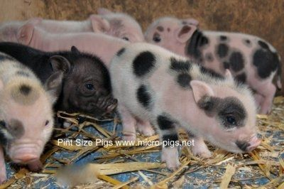 Micro Pigs - Micro Pigs For Sale / Teacup Pigs For Sale