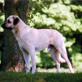 Pastor da Anatólia  (outros nomes: Coban Köpegi, Anatolian Shepherd Dog) História O Cão Pastor da Anatólia (também designado Karabash da An...