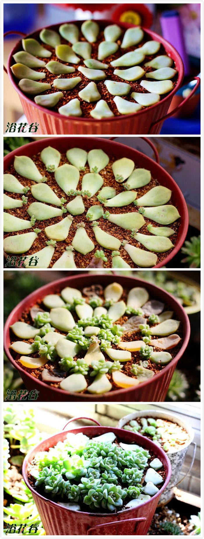 Como cultivar suculentas, ... ou como multiplicá-las.