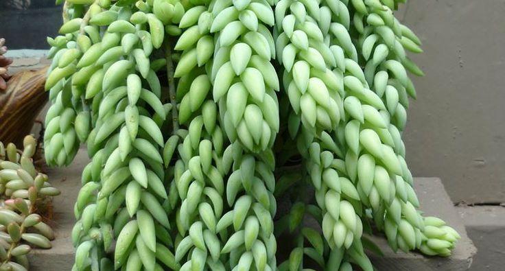 Oltre 25 idee originali per piante grasse su pinterest for Piante grasse pendenti