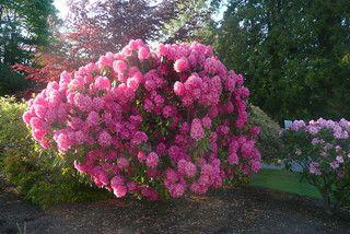 Garden - radiant pink rhododendron