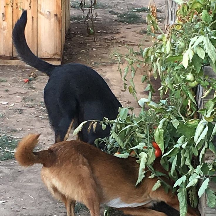Happy tails of the mouse chasers! The last of the tomatoes are in peril...time to search the recipe book for green tomato pickles 😊    #growyourown #greentomatoes #organic #pestcontrol #happydogs #gardeninglife