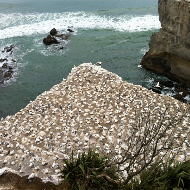 The world famous gannet colony at Maori Bay; wild west coast of Auckland in New Zealand comes alive