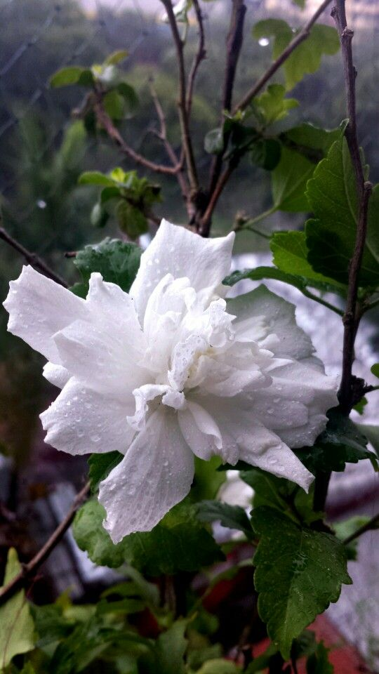 White Hibiscus India