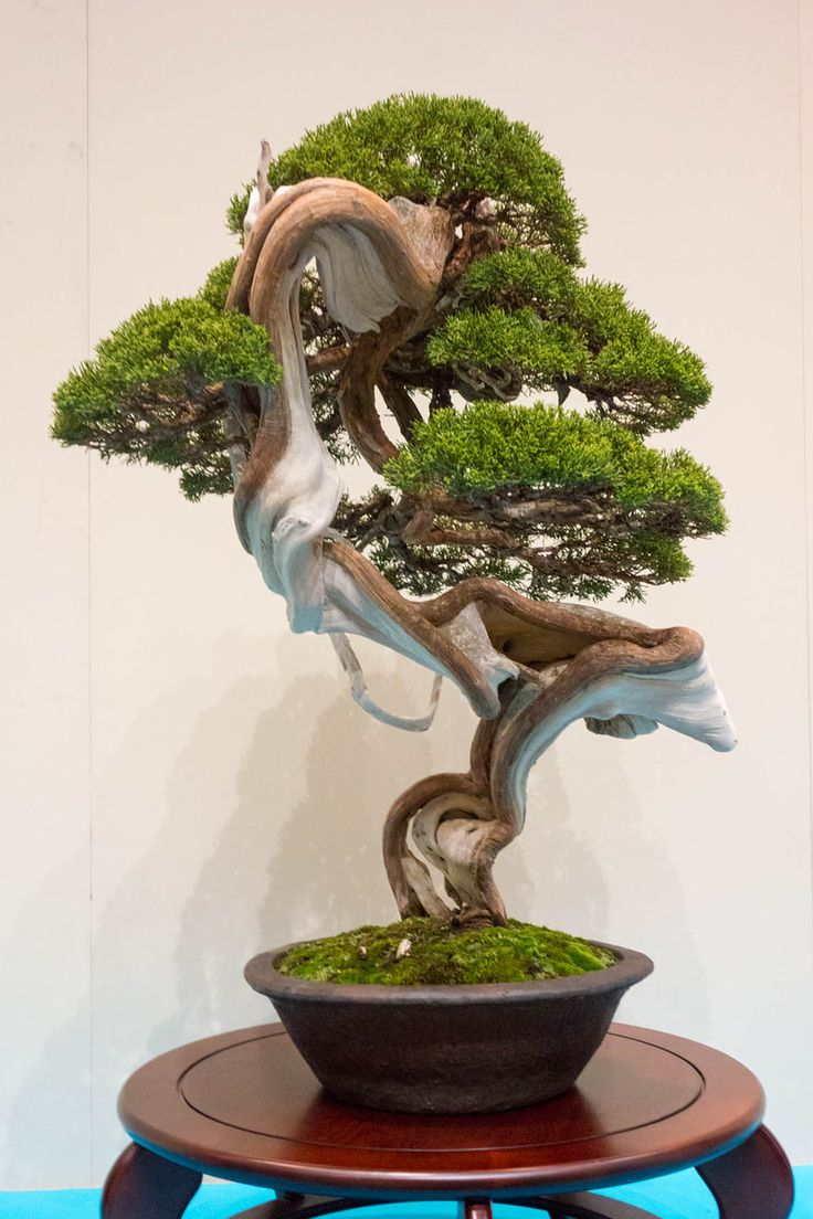 Chinese juniper Just look at the